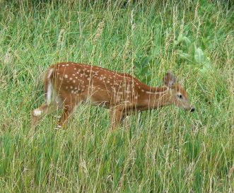 White_tailed_deer_Nebraska