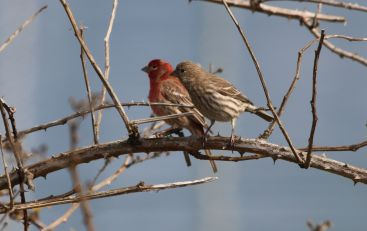 USFWS_house_finches_(23557798370)