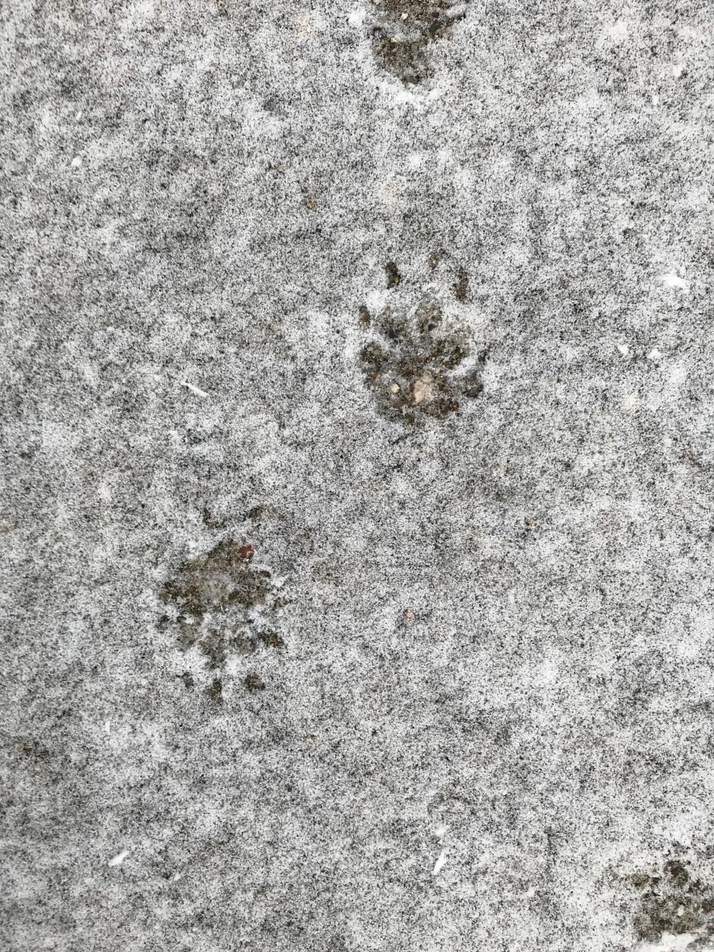 skunk prints in freshly fallen snow