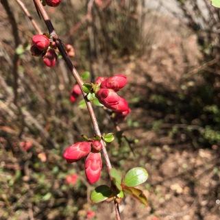 Red flower buds